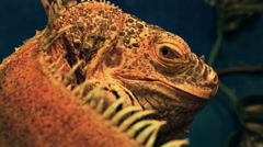 Green Iguana Close-Up Stock Footage