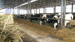 Countryside. Farm Yard. Black and White Cows Standing Outside Under the Shed Stock Footage