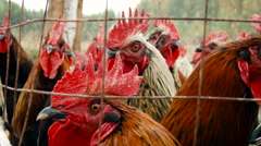 Rural Area. Farm. Roosters in Enclosure. Flock of Curious Birds Looking Through Stock Footage