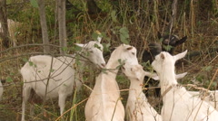 Rural Area. Domestic Animals. Flock of Young White Goats Eating up Thin Bush Stock Footage