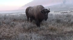 A bison herd in Yellowstone Stock Footage
