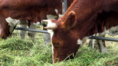 Red farm cow close. Stock Footage