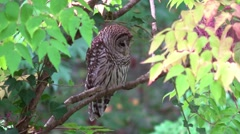 Barred Owl turns to look at camera and winks Stock Footage