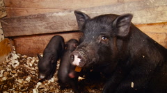Farm. Black Mini Pig With Its Babies Staying in Enclosure. Wooden Walls. Cute Stock Footage