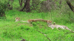 Cheetahs resting on grass Stock Footage