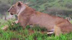 Female lion sitting Stock Footage