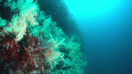 Soft corals on the edge of a coral reef.  4k Stock Footage