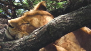 Female lion sleeping Stock Footage