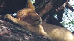 Baby lion sleeping Stock Footage