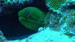 Large Green Eel With Blue Eyes Stares Out Of Its Hiding Place Inside A Coral 4K Stock Footage
