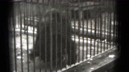 1947: aging scraggly bear rolling tumbling performing in small cage at circus Stock Footage
