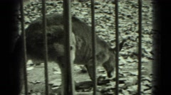 1947: kangaroo eating leaf and giraffe standing regally at local zoo MIDDLETOWN Stock Footage