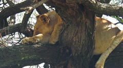 Young lion sleeping Stock Footage