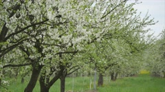 Blooming apple trees in the garden Stock Footage