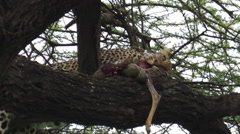 Leopard eating pray Stock Footage