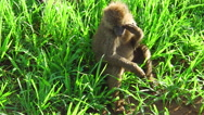 Baboons grass plain Stock Footage
