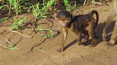 Baby baboon walking Stock Footage
