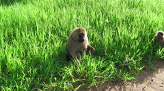 Couple of Baboons Stock Footage