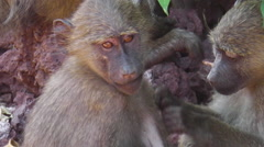 Baboons Couple cleaning Stock Footage