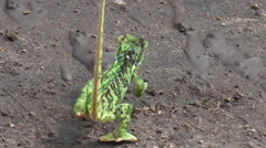 African green chameleon Stock Footage