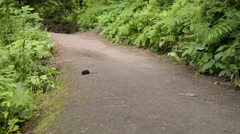 Little Mole Sniffs Around And Then Jumps (In The Middle Of Hiking Trail) Stock Footage