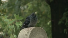 Pigeon sitting on the tombstone Stock Footage