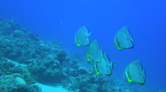Group Of Five Orbicular Bat Fish Swim Through Some Coral Reefs 4K Stock Footage