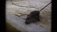 1951: animal is seen which is heavy furred FLORIDA Stock Footage