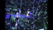 1951: colorful parrots and macaws atop cage in the trees FLORIDA Stock Footage