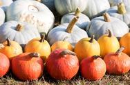 Ripe autumn pumpkins on the farm Stock Photos