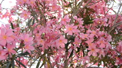 A pink flowering tree in Portoferraio, Italy on the island of Elba. Stock Footage