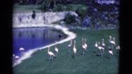 1951: flamingos on display near walkway FLORIDA Stock Footage