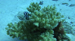 Little Black And White Striped Fish Hide Inside A Coral 4K Stock Footage