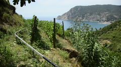 Wine vineyards on the trail connecting the five villages in the Cinque Terre reg Stock Footage