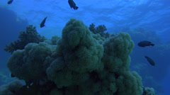 Underwater Corals Illuminated With A Deep Blue Color And Surrounded By Fish 4K Stock Footage