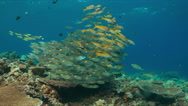 4k Coral reef with Yellowfin Goatfishes and Striped Large-eye Breams Stock Footage