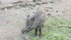 The wild boar eating (Sus scrofa) Stock Footage