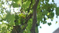Bunch of fresh organic grape on vine branch Stock Footage
