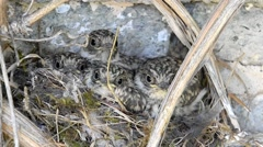 Fly Catcher chicks in nest Europe Stock Footage