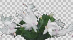 Time-lapse of growing and blooming white Christmas cactus with ALPHA channel Stock Footage