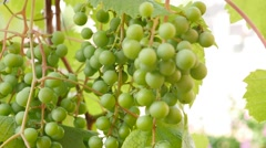 Grapes with green leaves on the vine. fresh fruits Stock Footage