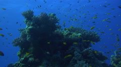 Large Swarms Of Colorful Fish Surround A Natural Coral Reef 4K Stock Footage
