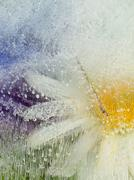 Organic abstraction with chamomile flower Stock Photos