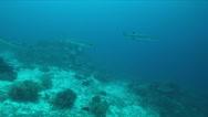 4k Blackfin Barracudas on a Coral reef Stock Footage