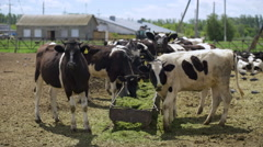 The cows eat silage feeders before the evening milking Stock Footage