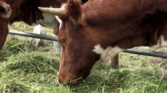 Red farm cow eating grass. Stock Footage
