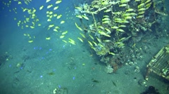 Artificial reef full of coral, fishes and a school of blue-lined snapper Stock Footage
