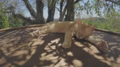 Ginger Cat Sleeping In The Shade Stock Footage