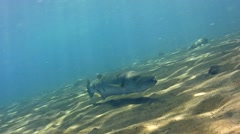 Great barracuda (Sphyraena barracuda) hovering, from side to side Stock Footage