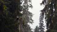 Adult bald eagle in a tree in the rainforest Stock Footage